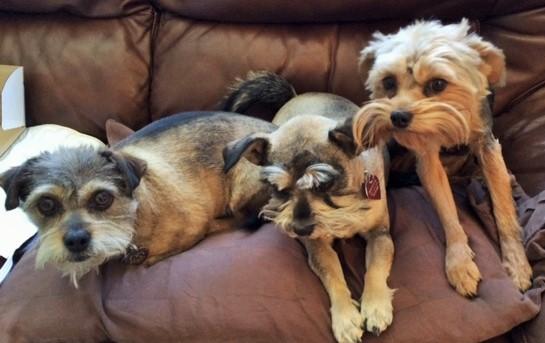 Three amigos mixed breed dogs